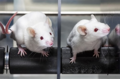 Mayo Clinic researchers extend lifespan by up to 35 percent in mice | KurzweilAI