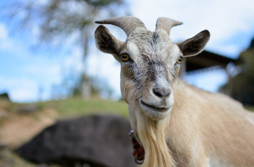 Fungi from goats' guts could lead to better biofuels – BBC News