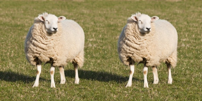 Dolly the Sheep's cloned sisters aging gracefully | Science News