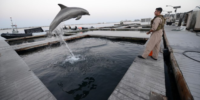 Mine-seeking Navy dolphin euthanized at SPAWAR facility in San Diego | NavyTimes