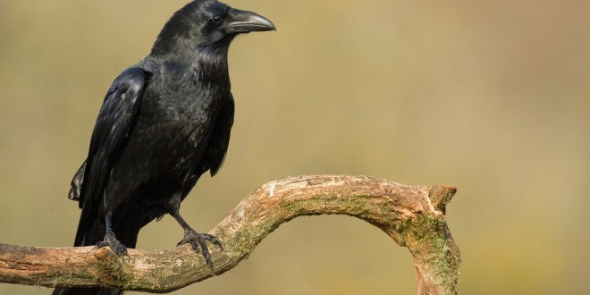Ravens pass tests of planning ahead in unnatural tasks | Science News