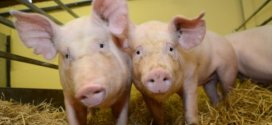 Gene-edited pigs are resistant to billion-dollar virus | Science Daily