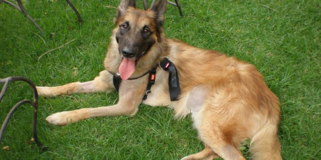 Special Operations Dog Posthumously Awarded Top Military Honour | Forces Network