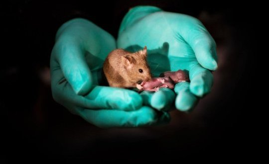 Mouse pups with same-sex parents born in China using stem cells and gene editing | Science Daily