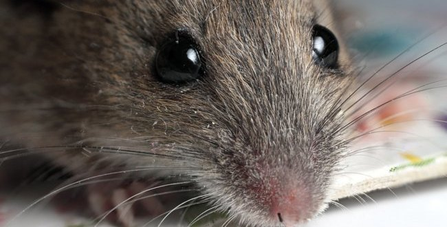 Evidence of restored vision in rats following cell transplant | Science Daily
