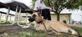 Retired military working dogs up for adoption at Joint Base San Antonio-Lackland| Military Times