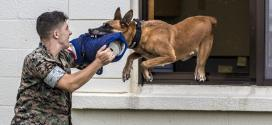 Belgian Malinois: 'No better dog' to track down insurgents, bite armed terrorists, trainer says | Stars & Stripes