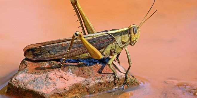 Gigantic new locust swarms hit East Africa | National Geographic