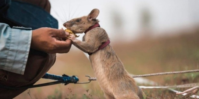 This adorable little rat is trained to sniff out landmines — and he's way better than EOD | Task & Purpose