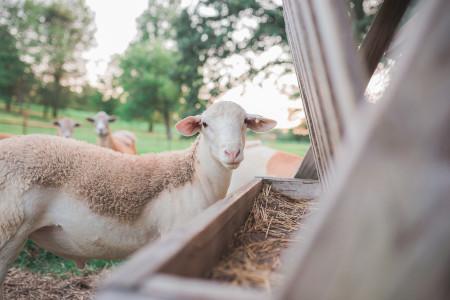 trasporto-mangiatoia-animali-pecore-pascolo-agnello-spedizioni-bestiame