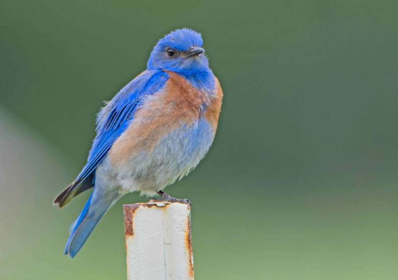 Bluebird eyes photographer with disfavor