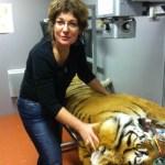Massage énergetique sur tigre - Zoo amnéville
