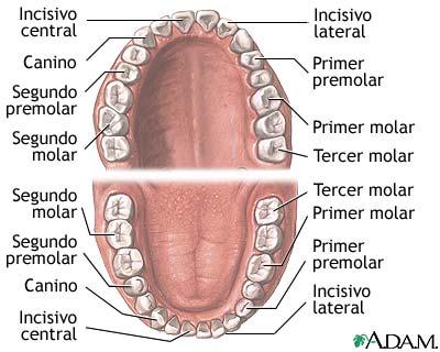 Dientes y muelas de la boca