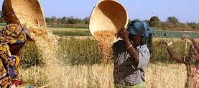 Kano wheat farmers
