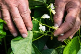 French Bean Flowers
