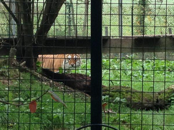 Tigre arche animalière