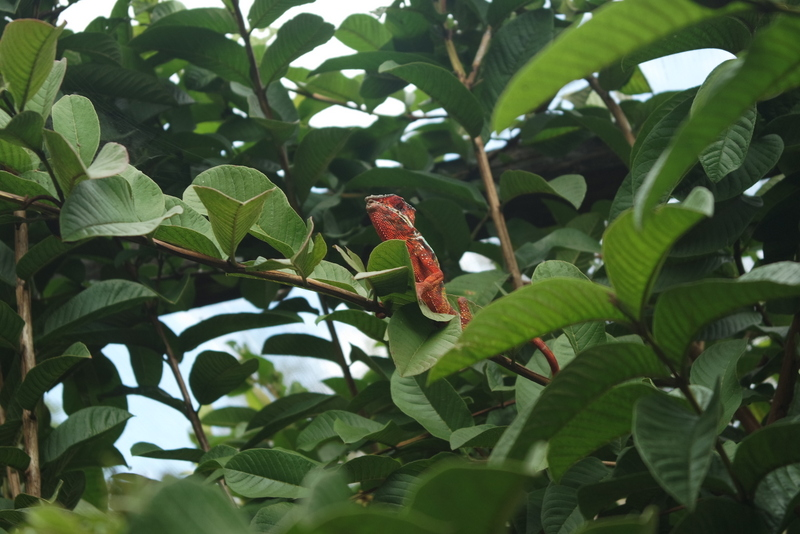 Caméléons Madagascar