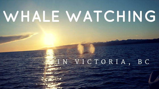 Looking for an unforgettable experience on Vancouver Island? A whale watching tour is a must-do activity while in Victoria, BC!