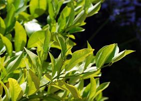 dwarf lemon tree leaves