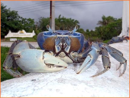 crab 7