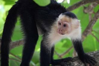 mono araña extinción