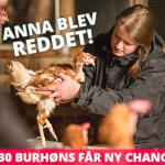 130 burhøns får ny chance