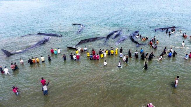 Rescatan a seis de los diez cachalotes varados en una playa de Indonesia