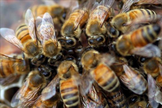 Muere anciano al ser atacado por abejas en Usulután