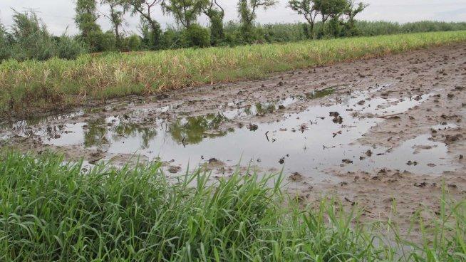 Fuertes lluvias causan perdidas en el cultivo de frijoles