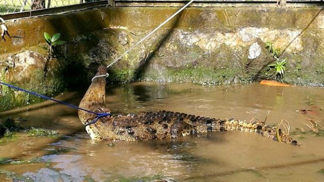 Rescatan a cocodrilo que se encontraba al interior de un cementerio en San Miguel