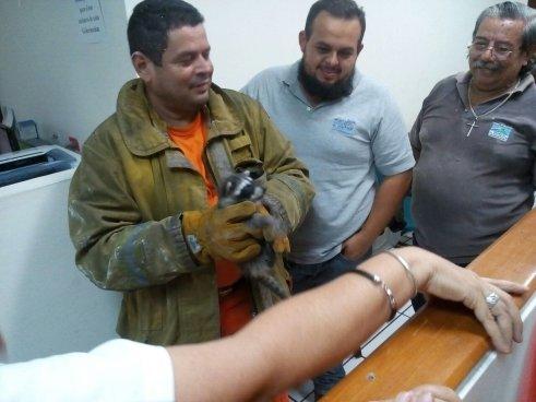 Bomberos rescatan a una familia de mapaches atrapada en un edificio de San Salvador