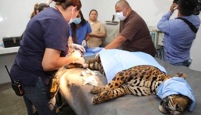 "Muere ""Flacucha"", la jaguar del Parque Zoológico Nacional"