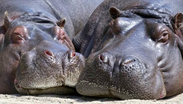 Hipopótamos de Pablo Escobar serán donados a Ecuador y Uruguay