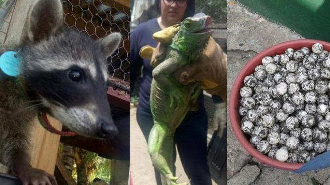 PNC decomisa huevos de tortuga y rescata a especies en peligro de extinción