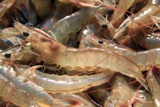 Prohíben la pesca de camarón en el país