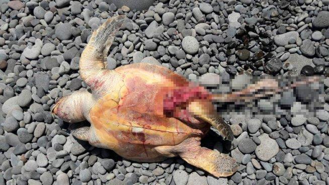 Matan a tortuga marina para sacarle los huevos en una playa de La Libertad
