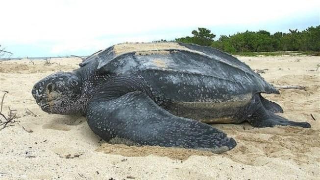 VÍDEO | Encuentran tortuga gigante muerta en una playa de España