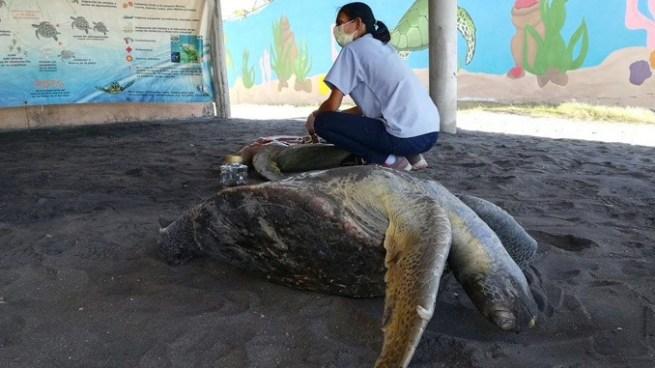 MARN afirma que la mortandad de tortugas marinas sigue en aumento