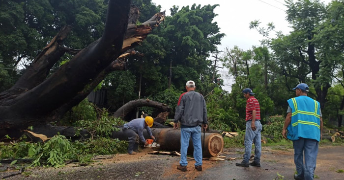 Caos vehicular por árbol que cayó sobre carretera Panamericana