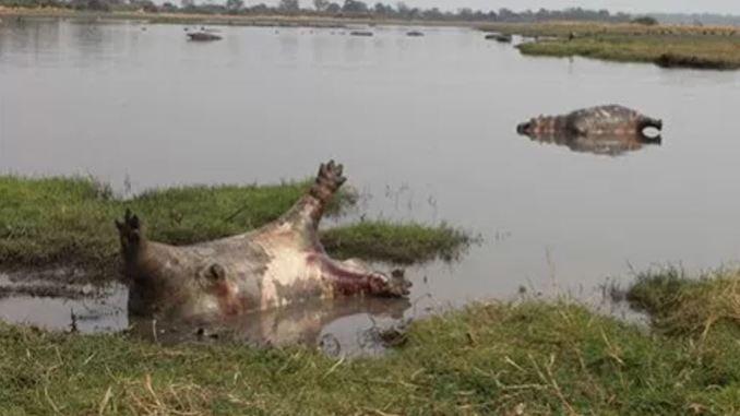 Mueren más de cien hipopótamos en Namibia