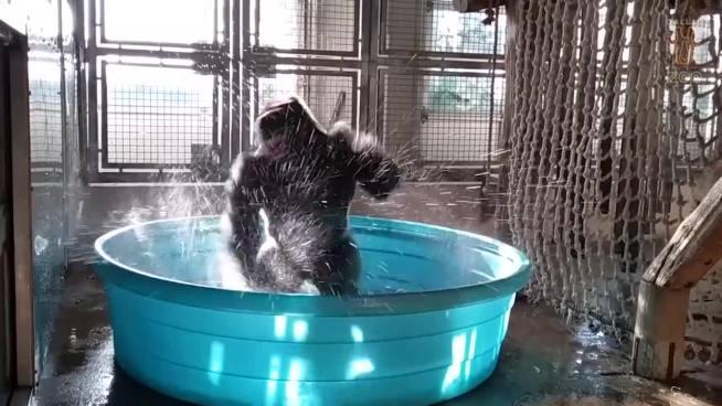 VÍDEO | Gorila que baila al ritmo del breakdance