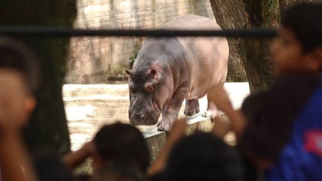 Fallece Gustavito el hipopótamo tras brutal ataque