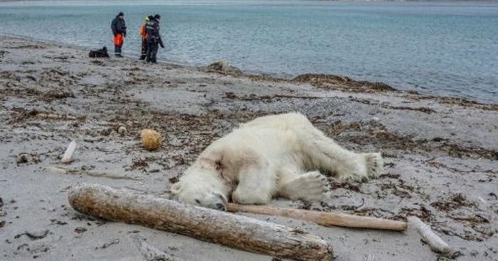 Asesinan a un oso polar en Noruega, que atacó a un guía turístico
