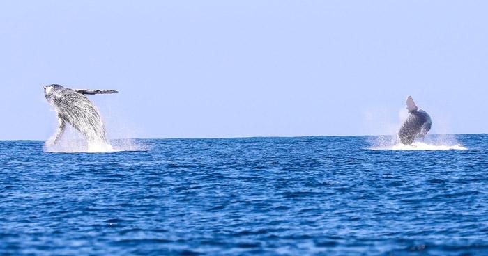 Temporada de avistamiento de ballenas en playa Los Cóbanos, Sonsonate