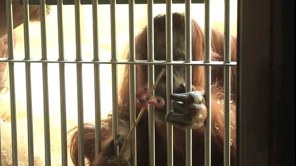 """Orangután se une a la fiebre de los """"fidget spinner"""" y esto es lo que pasa"""
