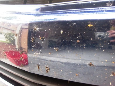 Accumulated Lovebugs After a 100-Mile Road Trip in Southwest Florida