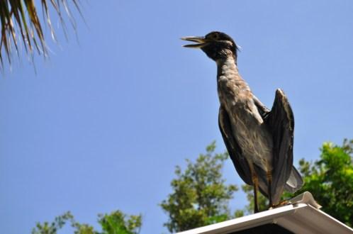 Yellow-Crowned Night Heron Hangs Out at Peace River Wildlife Center, Punta Gorda, Fla.
