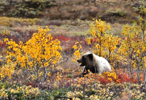 Grizzly Bear Chilling in Denali National Park, Aug. 2011