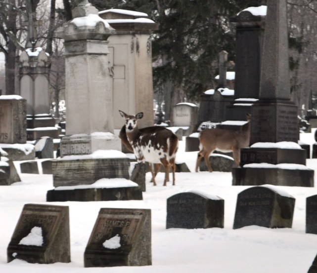 Piebald Deer at Holy Cross Cemetery in Lackawanna, N.Y., Near Buffalo, Dec. 26, 2013