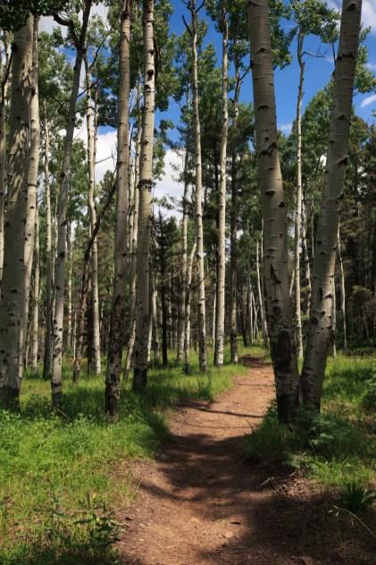 Aspen trees on the Hamilton Mesa Trailhead